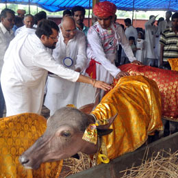 Rehabilitation of a pair of male cattle to farmers